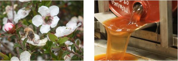 Hoa của cây Manuka và cách thu hoạch mật ong Manuka của Úc