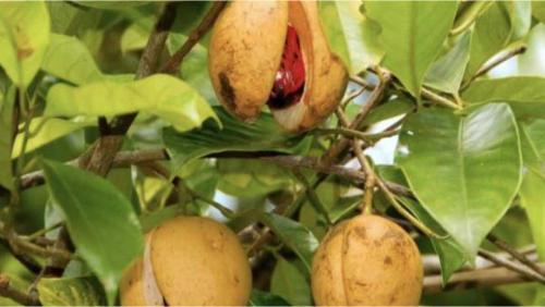Cây, quả và hạt nhục đậu khấu
