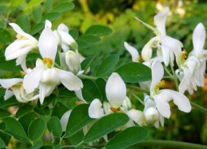 chiết xuất của cây chùm ngây có công dụng hỗ trợ điều trị nhiều bệnh tật