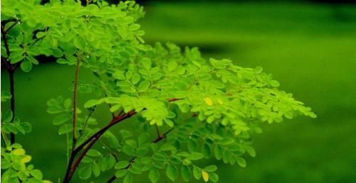 Chiết xuất của lá cây chùm ngây Moringa còn có công dụng cải thiện hệ thống tiêu hóa.