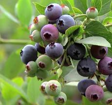 công dụng của trái nam việt quất là đem lại nhiều lợi ích cho sức khỏe toàn diện của cơ thể