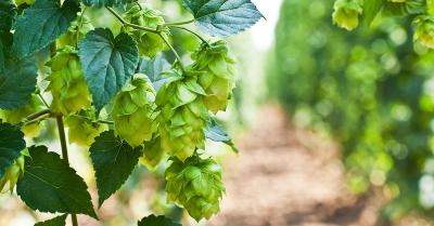 Hoa bia là một trong những loại thảo dược trị mất ngủ tốt nhất nhờ vào Xanthohumol