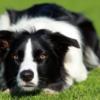 Border Collie là một giống chó cực kỳ thông minh nhất thế giới hiện nay